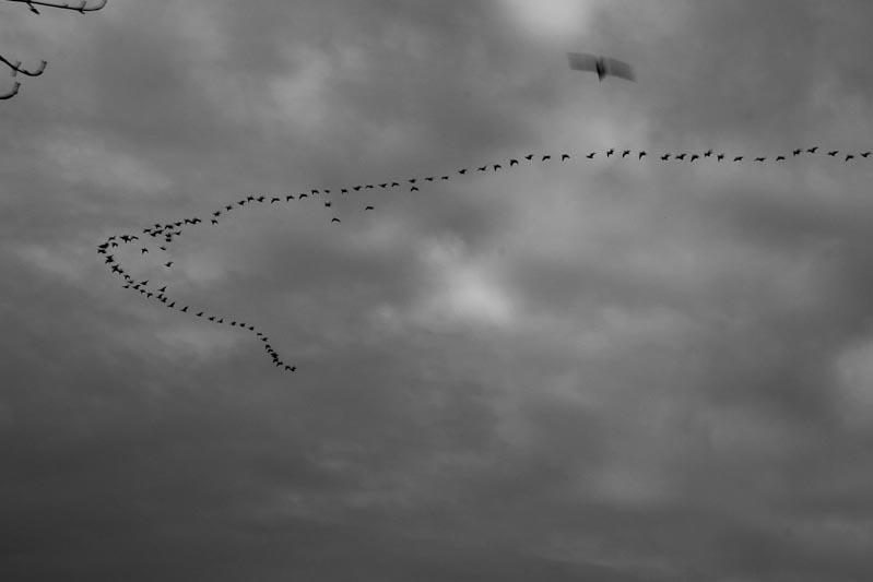 Geese in Chevron Flight